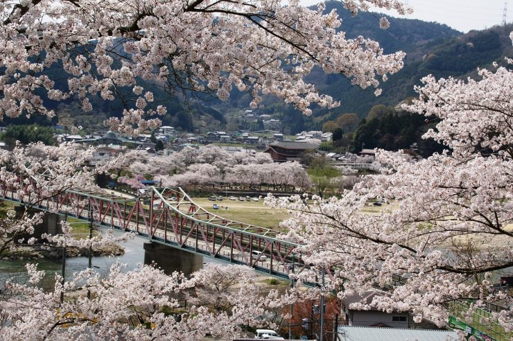 Cherry Blossom Season at Kasagi-yama Mountain Kyoto