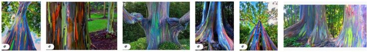 Painted Trees and Colored Rainbow Eucalyptus Trees