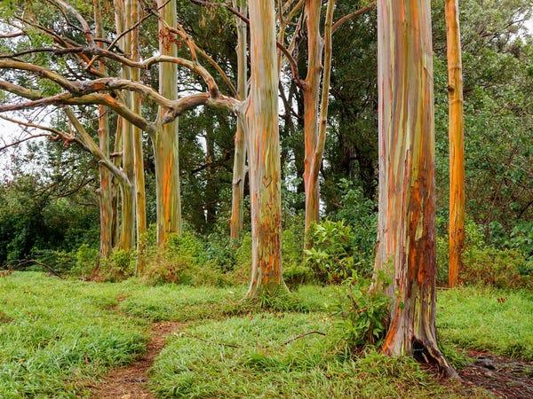 Painted Trees Rainbow Eucalyptus (Insider)