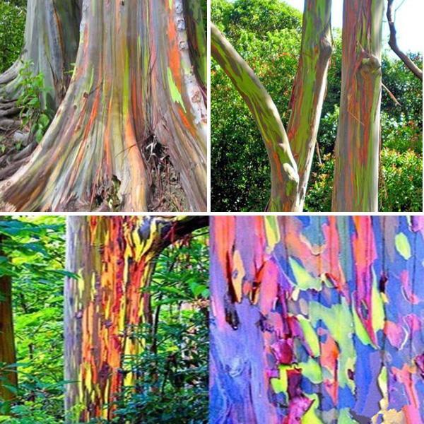 Painted Trees and Colored Rainbow Eucalyptus Trees (Grandado.com)