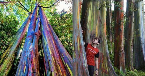 Rainbow Eucalyptus Deglupta Trees Mindanao Gum (House Beatiful)