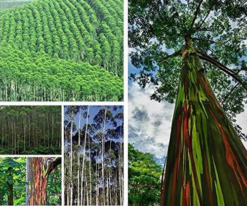 Rainbow Eucalyptus Seeds - Painted Trees (SaveMovey.es)