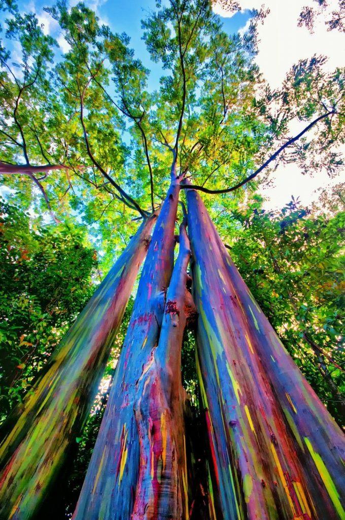 Rainbow Eucalyptus Trees (eBay)