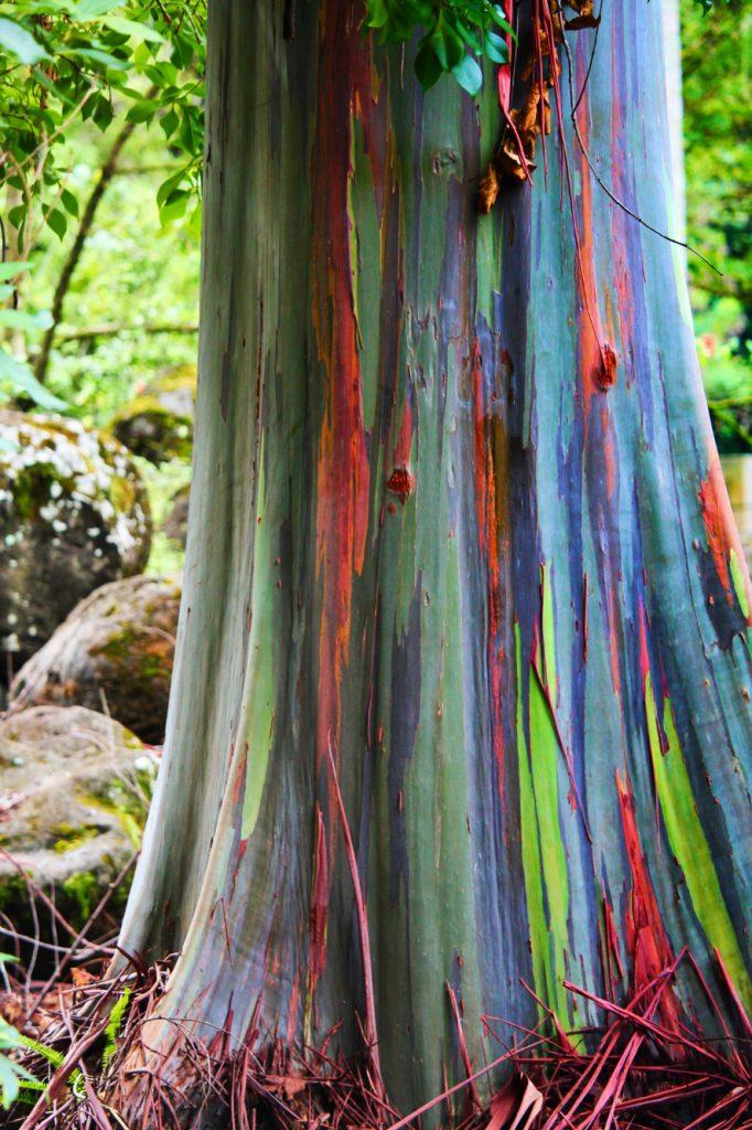 Rainbow Eucalyptus Trees in Waimea Valley North Shore Oahu (2TravelDads)